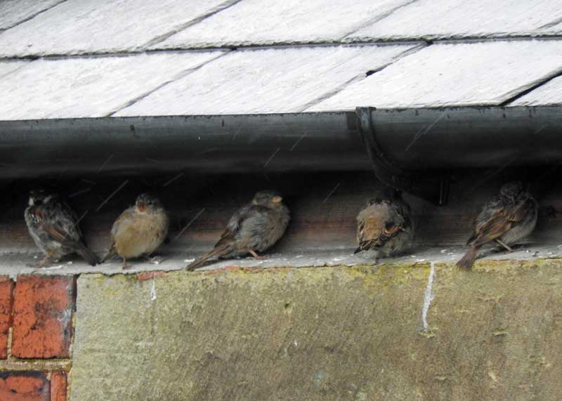 Sparrows taking shelter from the rain